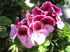 Martha Washington Geranium.JPG