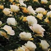 DRIFT® GROUNDCOVER ROSES