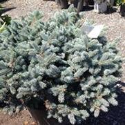 Spruce Blue Globosa