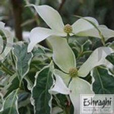 Dogwood Japanese Wolf Eyes