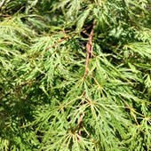 Japanese Maple Laceleaf Green