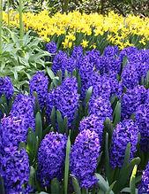 blue hyacinth.jpg