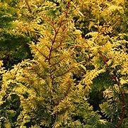 Cypress Golden Dwarf Hinoki