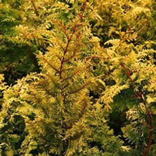 Cypress Golden Dwarf Hinoki
