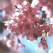 Cherry Pink Weeping