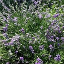 Lavender Munstead English