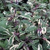 Sage Tricolor