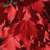 Red Maple Red Sunset