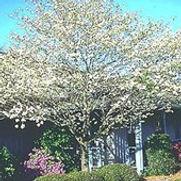 Dogwood White