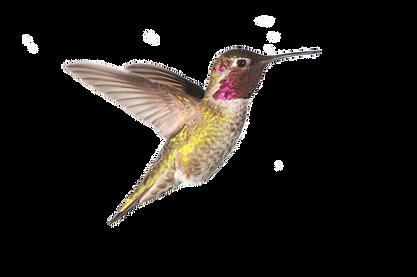 96802793-annas-hummingbird-in-flight-whi