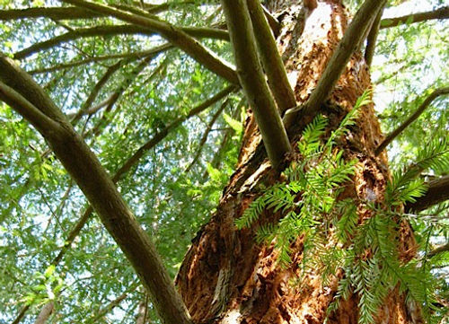 The Sequoia Grove - Arboretum at South Seattle College