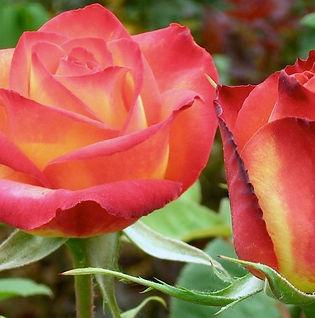 Helen Sutton Rose Garden at South Seattle Collge