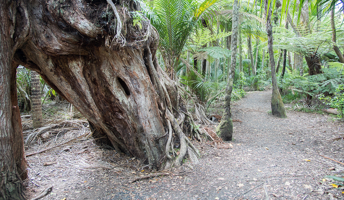 Buttress Tree Root at Waitakere