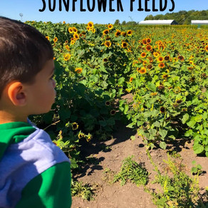 A field trip to a sunflower field