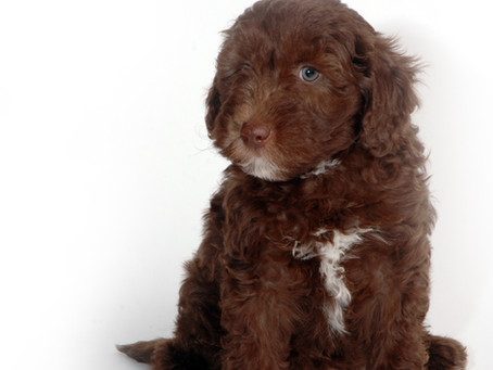 Chocolate boy at 7 weeks