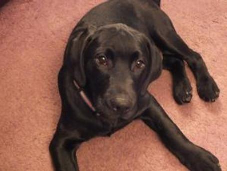 Jan's new Labrador puppy Jasper!