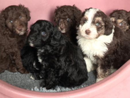 Puppies at five weeks!