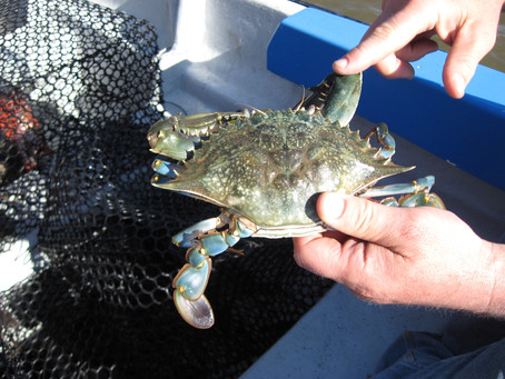 Sourcing Maryland Blue crabmeat during winter time