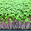 Thumbnail: Red Russian Kale Microgreens - 500 Seeds