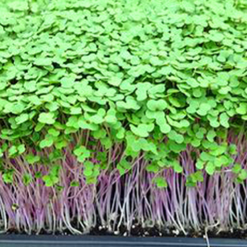 Red Russian Kale Microgreens - 500 Seeds