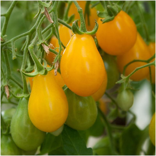 Yellow Pear Cherry Tomato - 50 Seeds