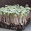 Thumbnail: Vates Blue Scotch Curled Kale Microgreens - 1000 Seeds