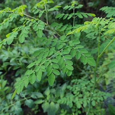Moringa Seeds 25ct