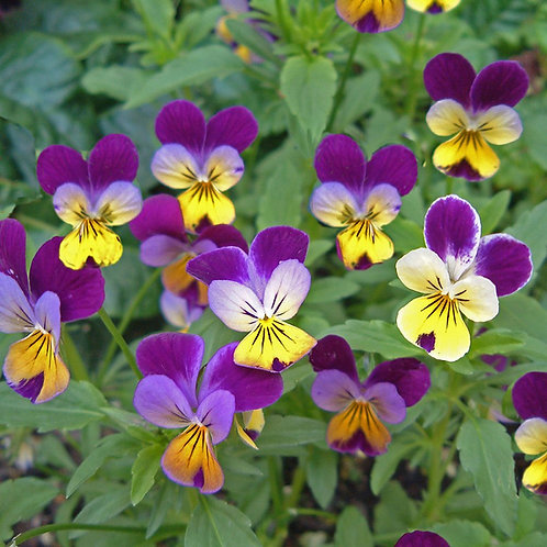 Viola Johnny Jump Up - 350 Seeds