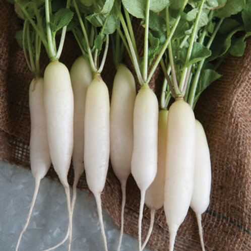White Icicle Short Top Radish - 500 Seeds