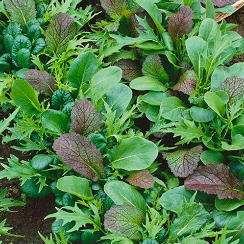 Braising Mix Blend Lettuce - 500 Seeds