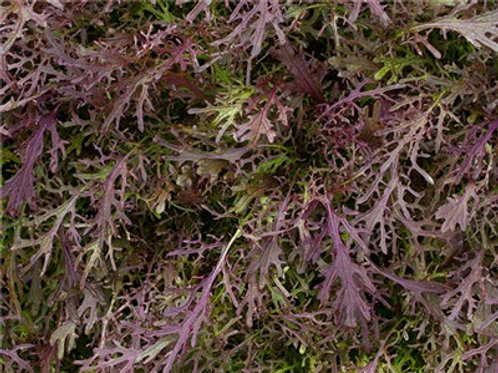 Mizuna Red Leaf Mustard - 1000 Seeds