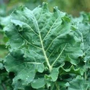 Premier Kale - 1000 Seeds