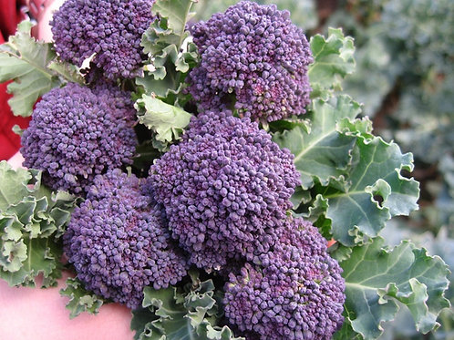Early Purple Sprouting Broccoli - 150 Seeds
