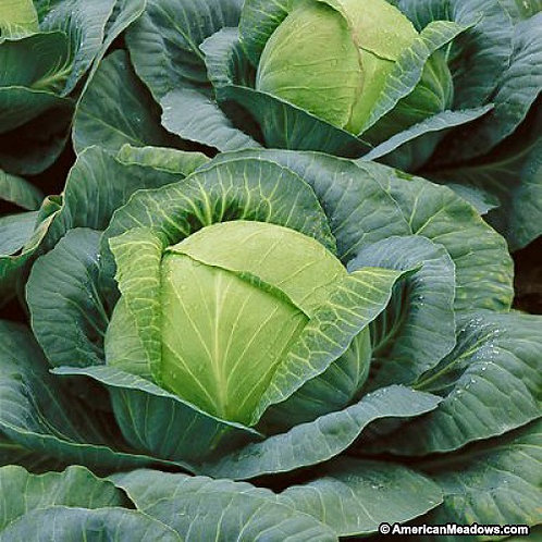 Copenhagen Market Cabbage - 500 Seeds