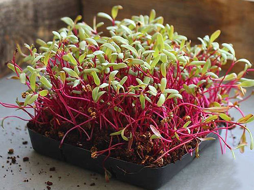 Detroit Dark Red Beet Microgreens - 1000 Seeds