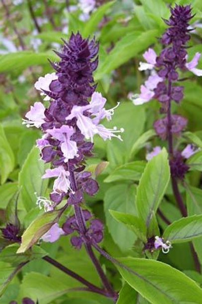 Cinnamon Basil- 75 Seeds