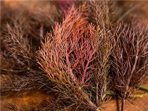 Bronze Fennel - 75 Seeds