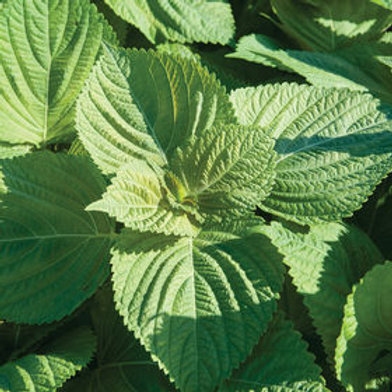 Shiso Herb - 150 Seeds