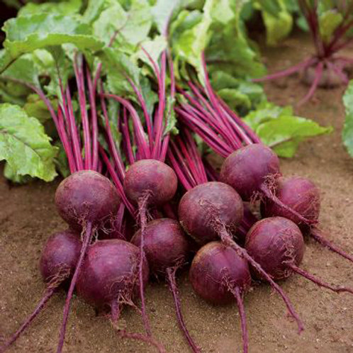 Early Wonder Tall Top Beet - 300 Seeds