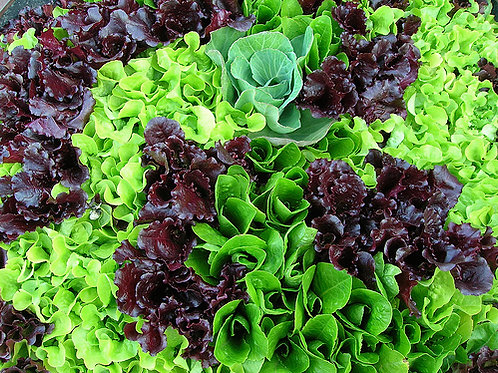 Mesclun Lettuce Mix 1000 Seeds