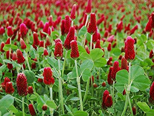 Crimson Clover Cover Crop - 1oz