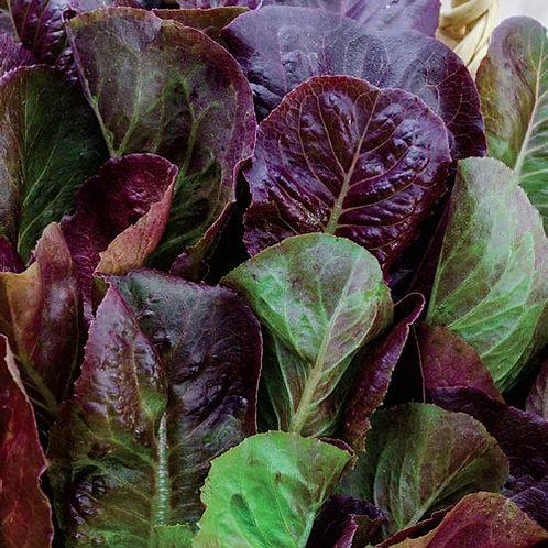 Cimarron Romaine Lettuce - 500 Seeds