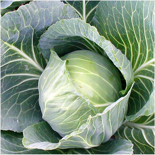 Golden Acre Cabbage - 200 Seeds