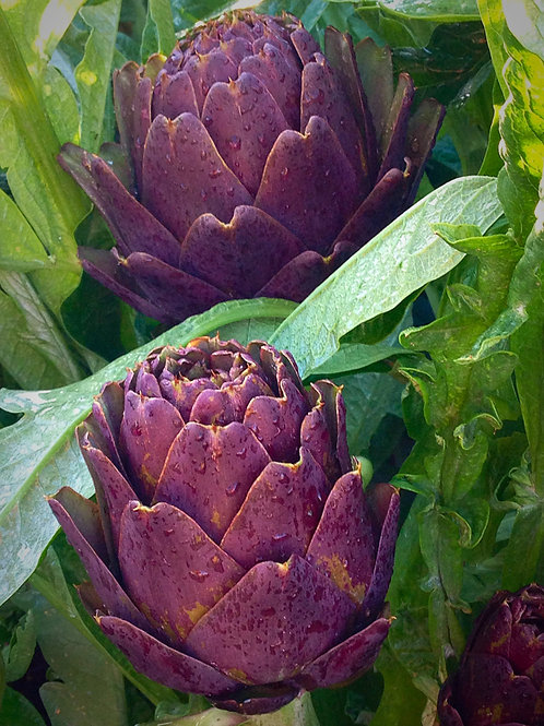 Purple of Romagna Artichoke - 15 Seeds