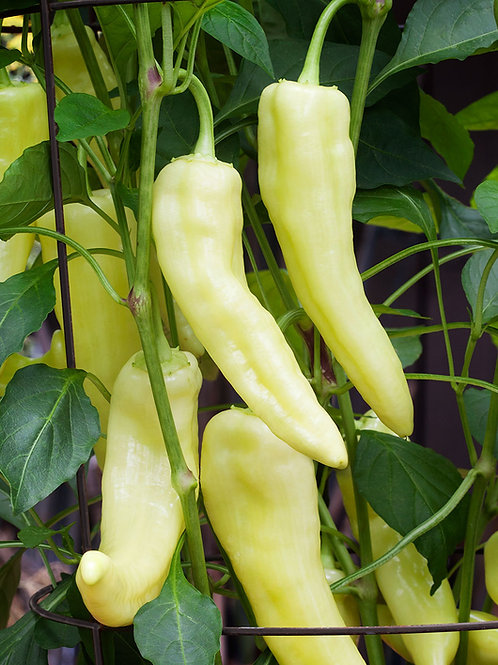 Sweet Banana Pepper - 75 Seeds