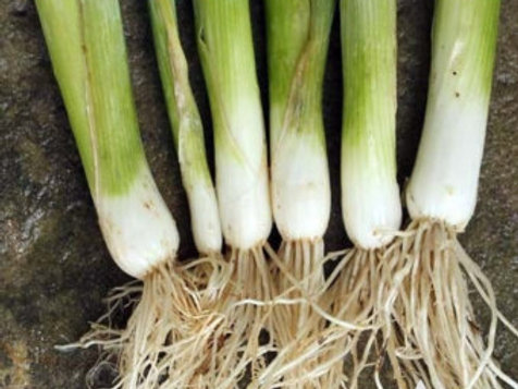 Tokyo Long White Bunch Onion - 150 Seeds