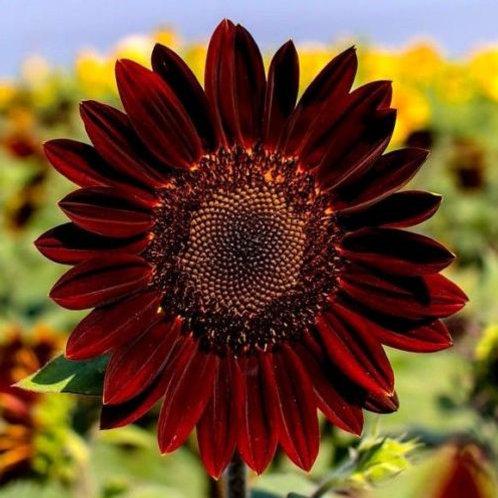 Velvet Queen Sunflower - 75 Seeds