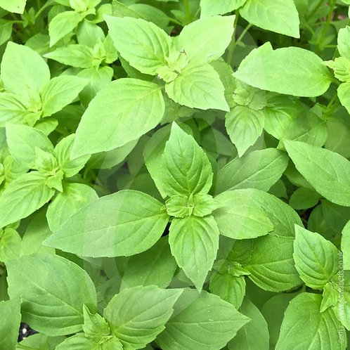 Lemon Basil - 500 Seeds
