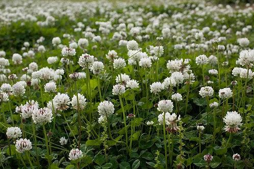 White Dutch Clover Cover Crop - 2oz Seeds