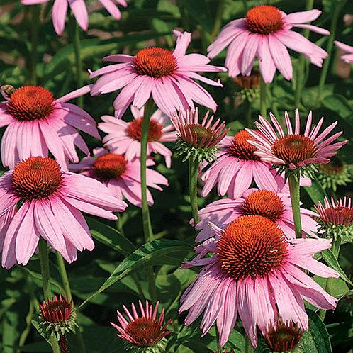 Purple Echinacea - 200 Seeds